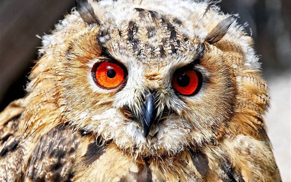 Wallpaper Red eyes owl, front view, feathers