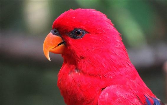 Wallpaper Red feather parrot, head, eyes, beak