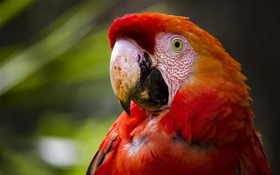Papéis de Parede Macaw de penas vermelhas, papagaio