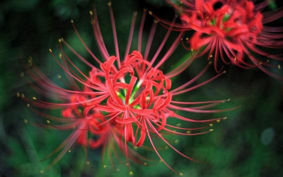 Papéis de Parede Flores vermelhas fotografia macro, pétalas, pistilos