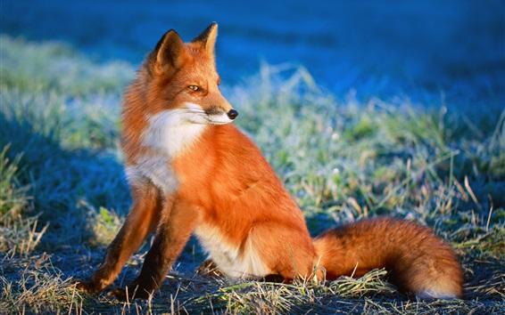 Обои Красная лиса смотрит на сторону