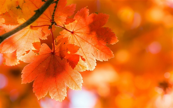 Wallpaper Red maple leaves, backlight, twigs, autumn