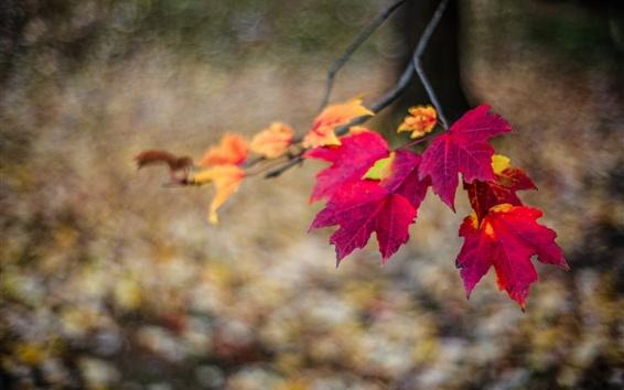 Wallpaper Red maple leaves, twigs, autumn, bokeh