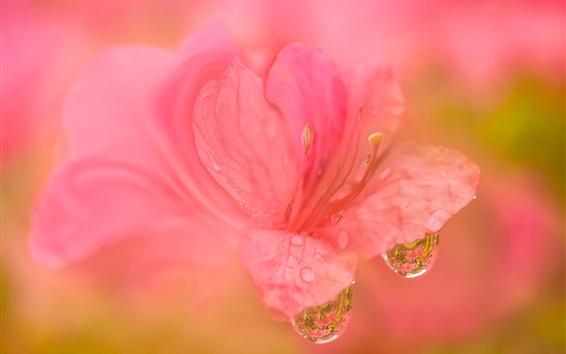 Papéis de Parede Rhododendron flor rosa fotografia macro, orvalho