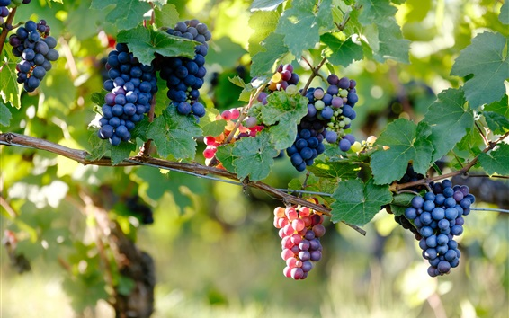 Fondos de pantalla Uvas maduras, ramas de vid, bayas, azul, morado, rojo
