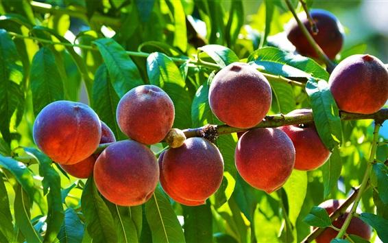 Wallpaper Ripe peaches, fresh fruit, twigs, leaves