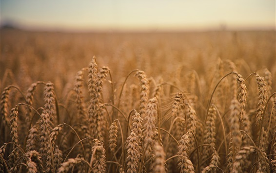 Wallpaper Ripe wheat, field