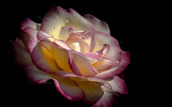 Papéis de Parede Rose close-up, pétalas brancas rosa, gotas de água, fundo preto