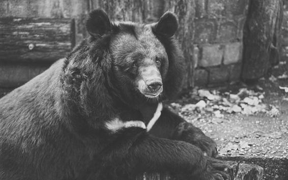 Papéis de Parede Urso de tristeza, foto em preto e branco