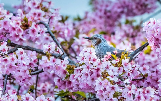 Papéis de Parede Sakura floração, pássaro, primavera