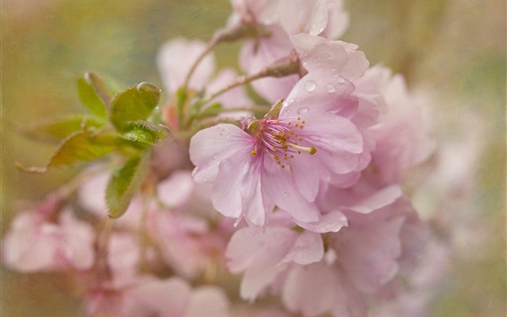 Papéis de Parede Sakura florescendo, flores cor de rosa, depois da chuva