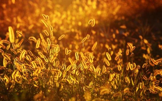 Wallpaper Setaria, grass, sunset, summer