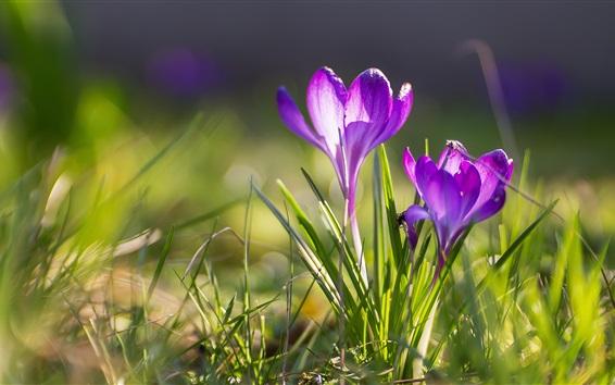 Papéis de Parede Primavera, açafrões, flores roxas, capim