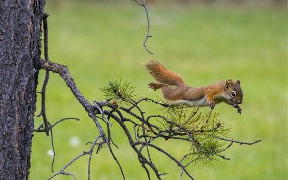 Wallpaper Squirrel jump, pine tree