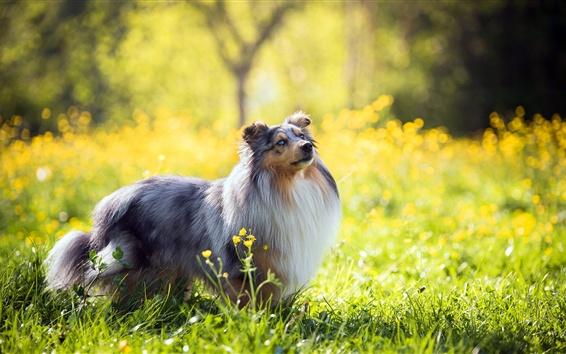 Papéis de Parede Verão, cachorro peludo, olhar, flores silvestres