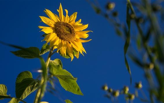 Papéis de Parede Girassol, folhas, céu azul