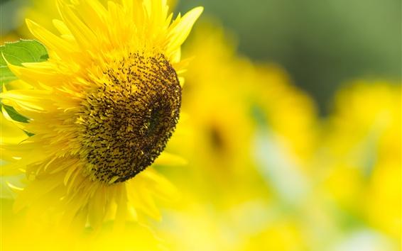 Wallpaper Sunflower, yellow petals, bokeh