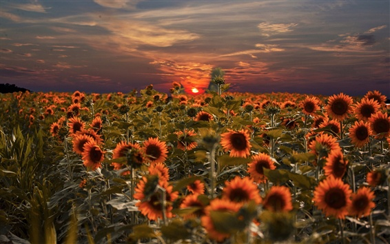 Wallpaper Sunflowers field, sunset