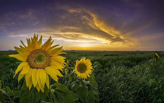 Fond d'écran Tournesols, herbe, coucher de soleil