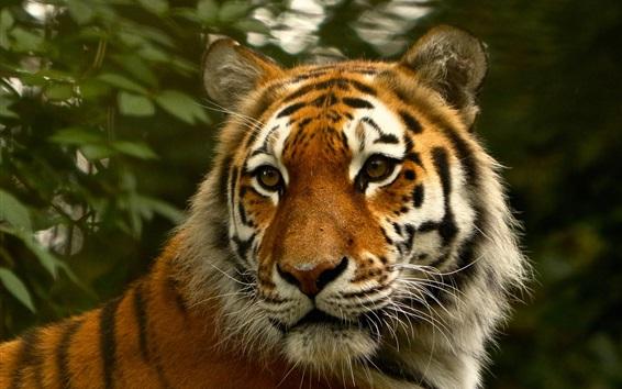 Wallpaper Tiger look back, face