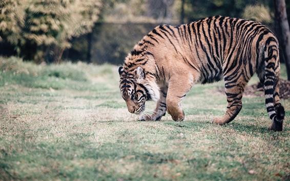 Обои Тигровая прогулка, трава