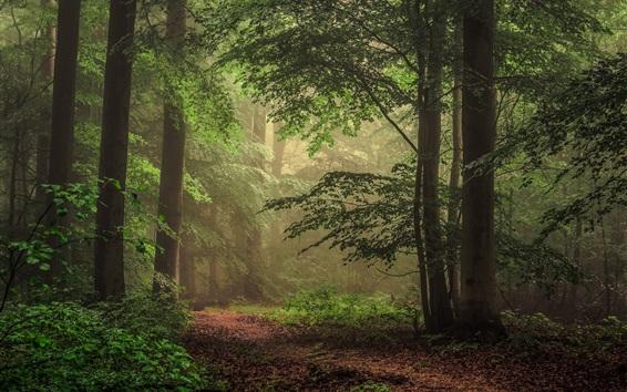 Wallpaper Trees, forest, fog, morning