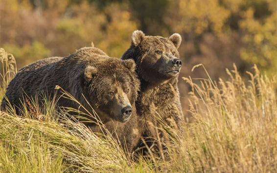 Обои Два медведя, трава, осень