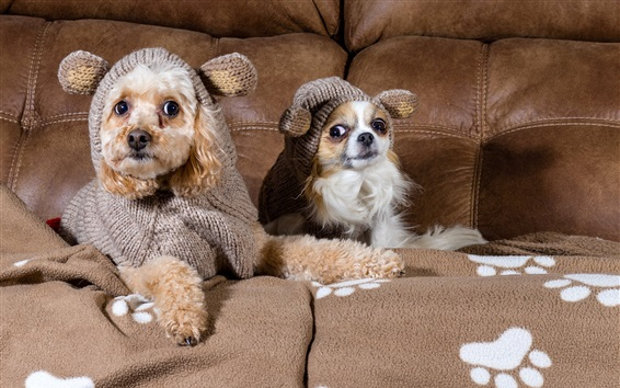 Wallpaper Two dogs, Chihuahua, clothing, sofa