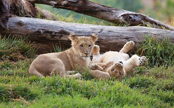 Papéis de Parede Dois leões, filhotes, brincalhão