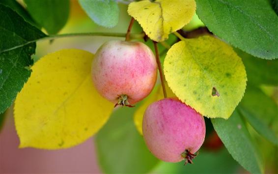 Papéis de Parede Duas maçãs maduras, folhas, galhos