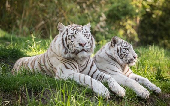 Papéis de Parede Dois tigres brancos, grama, descanso
