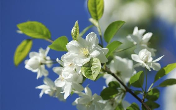 Papéis de Parede Flores de maçã branca, galhos, primavera