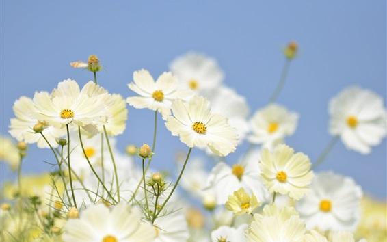 배경 화면 흰색 코스 메야 꽃 근접 촬영