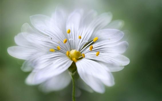 Wallpaper White petals flower macro photography, stamens