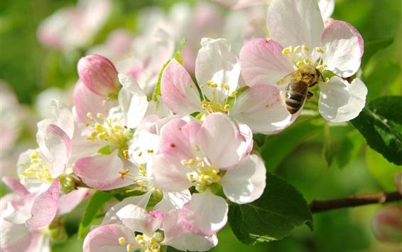 Papéis de Parede Flores brancas de maçã rosa, abelhas, galhos, primavera