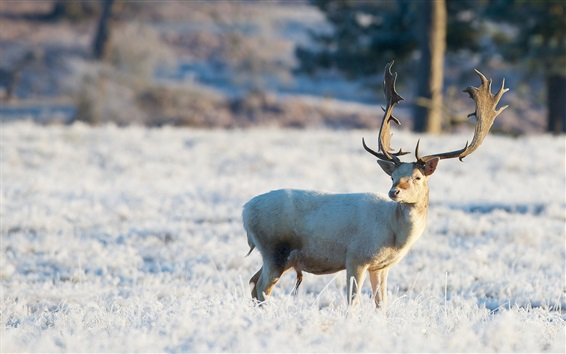Papéis de Parede Inverno, cervo, olhe para trás