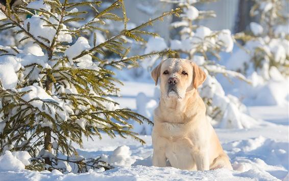 Обои Зима, снег, собака, деревья