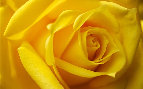 Wallpaper Yellow petals rose macro photography