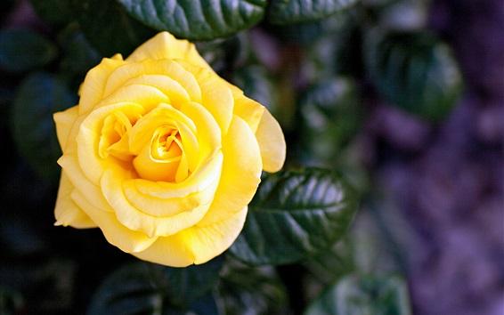 Wallpaper Yellow rose, single flower