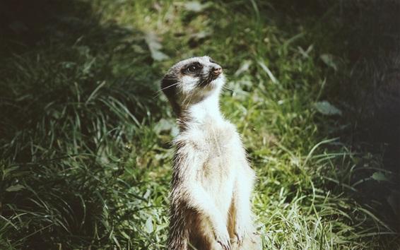 Wallpaper A meerkat standing up