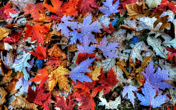 Autumn, maple leaves, dew, red and blue Wallpaper Preview