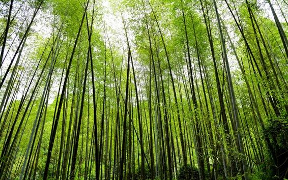 Fondos de pantalla Bosque de bambú, verde, la naturaleza