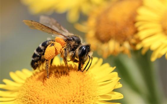 배경 화면 꿀벌, 노란 꽃
