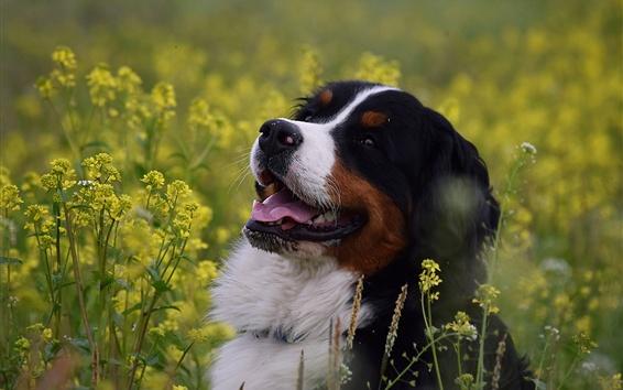 Papéis de Parede Cão de montanha Bernese, alegria, flores