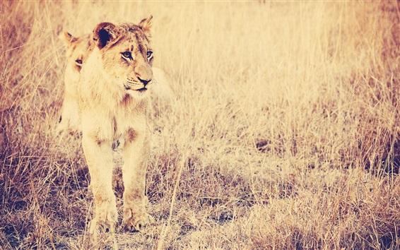 Wallpaper Big cat, lion, grass