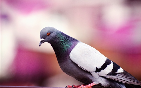 Обои Птица крупным планом, голубь