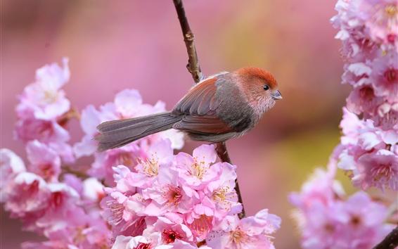 Papéis de Parede Pássaro, flores de cerejeira rosa, primavera