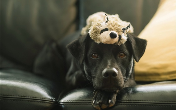 Wallpaper Black dog and toy, sofa