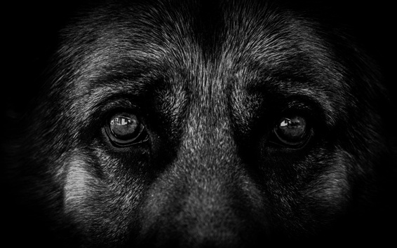 Wallpaper Black dog eyes