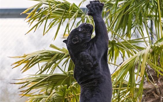Papéis de Parede Salto de jaguar preto